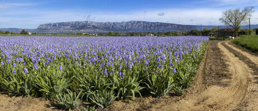 Mount Sainte Victoire and flowers Royalty Free Stock Image