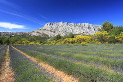 Mount Sainte Victoire and lavanders. In Provence Stock Photography