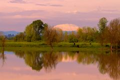 Mount St Helens Reflection during Sunset Portland Oregon. Mount Saint Helens reflection with cattle cows grazing by the water in Sauvie Island during sunset in Royalty Free Stock Images