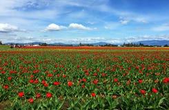 Mount Vernon mars för WA USA, 26 2015 Varje år i April Skagit Valley Tulip Festival rymms i det nordvästligt av Washington Royaltyfri Bild