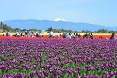 Free Mount Vernon Skagit Valley Tulip Farm Stock Images - 118266474
