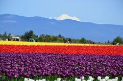 Free Mount Vernon Tulip Festival Royalty Free Stock Photos - 118266438