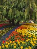 Mount Vernon, WA de V.S. 26 Maart, 2015 Elk jaar in April Skagit Valley Tulip Festival wordt gehouden in het Noordwesten van Wash Royalty-vrije Stock Fotografie