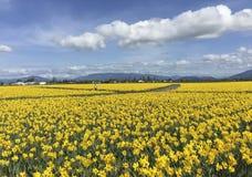 Mount Vernon, WA США 26-ое марта 2015 Каждый год в Skagit -го фестивале тюльпана долины в апреле держится в к северо-западу от Ва Стоковые Фотографии RF