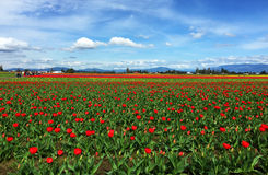 Mount Vernon, WA U.S.A. marzo, 26 del 2015 Ogni anno in April Skagit Valley Tulip Festival è tenuto in a nord-ovest di Washington Immagine Stock Libera da Diritti