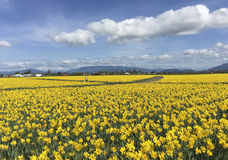 Mount Vernon, WA USA March, 26 2015. Every year in April Skagit Valley Tulip Festival is held in the North West of Washington. Royalty Free Stock Photos