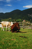Mountain animals. Cow and hourse relaxing in the grass Royalty Free Stock Photo