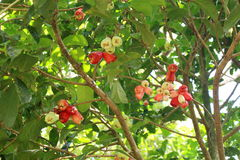 Mountain apples on tree. Tropical mountain apples (Syzygium malaccense) on tree. Picture taken in Hawaii Stock Images