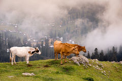 Landscape with cows Royalty Free Stock Photography