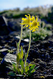 Mountain arnica flowers covered tundra. Royalty Free Stock Photos