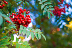 Mountain ash. Red vibrant mountain ash berries and blue sky royalty free stock images