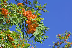Mountain ash Stock Images