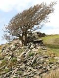 Mountain Ash Royalty Free Stock Photo