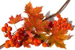 Mountain Ash And Maple Leaf Stock Photos