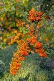 Mountain ash on autumn background Royalty Free Stock Images