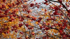 Mountain ash autumn tree background stock video footage
