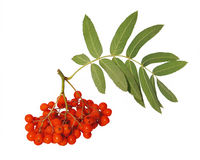Mountain ash berries Stock Photo