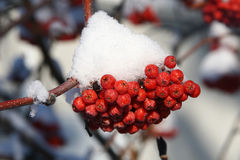 Mountain Ash Berries. Snow-covered mountain ash berries in winter Royalty Free Stock Image