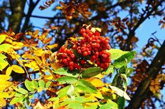 Mountain Ash berries. Royalty Free Stock Photography