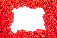 Mountain Ash Berries with blank white copyspace Royalty Free Stock Photos