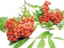 Mountain ash berries on branch Royalty Free Stock Image
