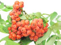 Mountain ash berries on branch Royalty Free Stock Photography
