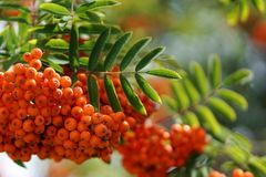 Mountain Ash Berries And Leaves, Close Up. Dense orange berry clusters and pinnate leaves of the mountain ash, or rowan, tree, Sorbus aucuparia. Close up view Royalty Free Stock Photography