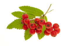 Mountain ash berries Stock Image