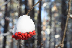 Mountain ash berries in snow on a branch of a tree Stock Photography