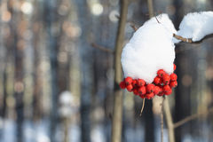 Mountain ash berries in snow on a branch of a tree Royalty Free Stock Photography