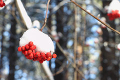 Mountain ash berries in snow on a branch of a tree Stock Image