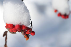 Mountain ash berries in snow on a branch of a tree Royalty Free Stock Photo