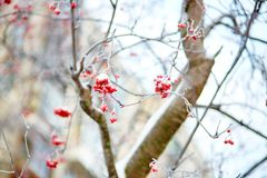 Mountain-ash berries with snow. Mountain-ash berries covered with snow Royalty Free Stock Photo