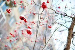 Mountain-ash berries with snow Royalty Free Stock Image