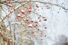 Mountain-ash berries with snow. Mountain-ash berries covered with snow Royalty Free Stock Image