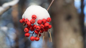 Mountain ash berries in snow shaking from wind among trees stock footage