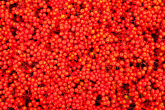 Mountain Ash Berries (Sorbus aucuparia). Background texture pattern of red mountain ash berries (Sorbus aucuparia Stock Photo