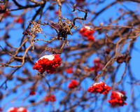 Mountain Ash Berries Stock Images