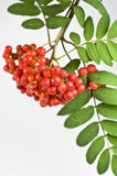 Mountain ash berry Royalty Free Stock Photography
