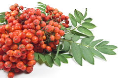 Mountain ash berry Royalty Free Stock Photo