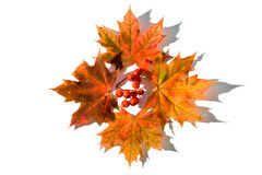 Mountain ash berry. With maple leafs Royalty Free Stock Photos