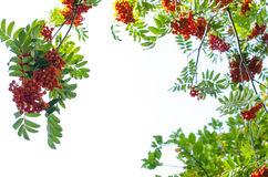 Mountain ash berry Stock Image