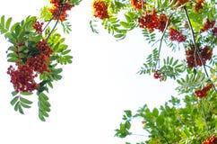 Mountain ash berry Stock Image