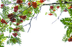 Mountain ash berry Stock Photography