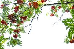 Mountain ash berry Stock Photography