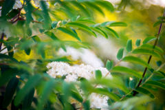 Mountain ash in bloom. Sorbus or Mountain ash flower in bloom, sunny spring Stock Image