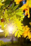 Mountain ash branch. Gold branch of a mountain ash against the coming sun Royalty Free Stock Images