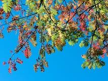 Mountain ash branch in autumn light Royalty Free Stock Photo