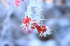 Mountain ash on a branch covered with hoarfrost. Removed close up with photofilter use Royalty Free Stock Photo
