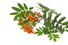 Mountain ash branch isolated on a white Royalty Free Stock Image